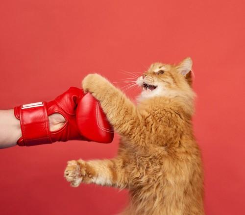 ボクシンググローブにパンチする猫