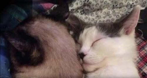 一緒に寝る2匹の猫