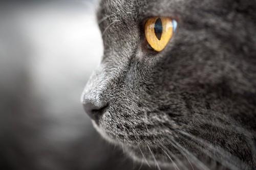 カッパー色の目の猫