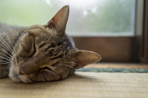 畳で寛ぐ猫
