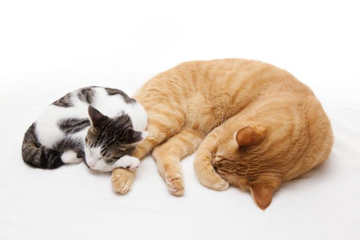 茶トラの猫に寄り添って眠る子猫
