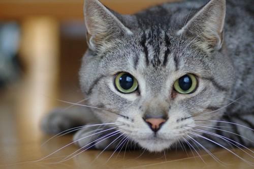 伏せて見つめる猫