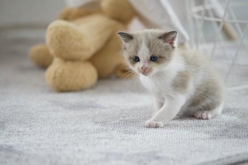 カーペットの上に座る子猫