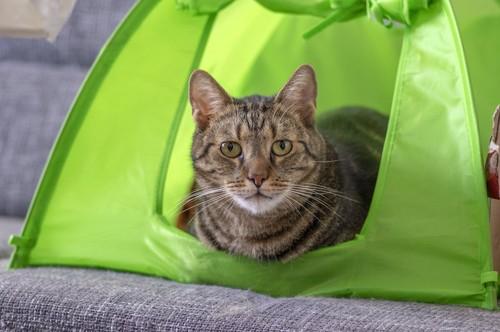 テントに入る猫