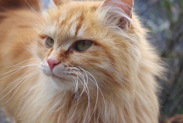 茶色い長毛種の猫顔アップ