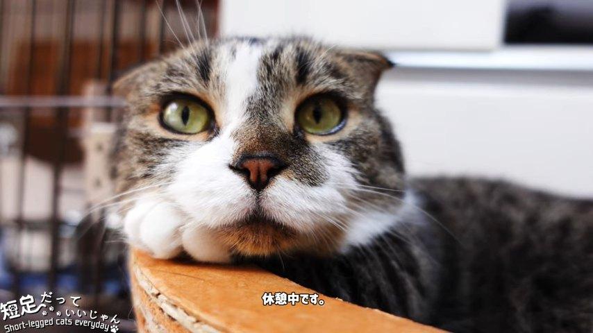 前足を枕にしている猫