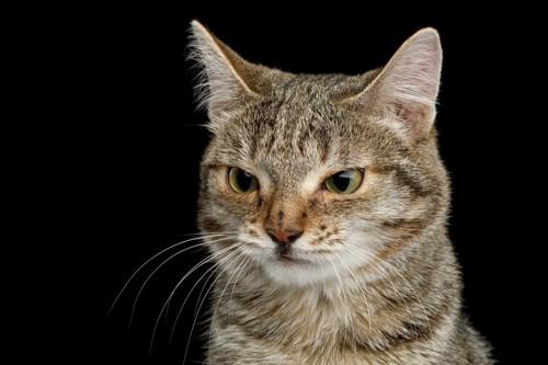 キジトラの猫のアップ