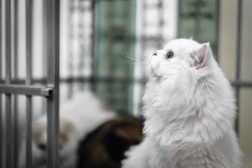 ケージの中にいるペルシャ猫の横顔