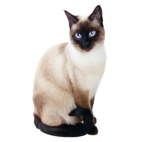 尻尾を巻き付けるシャム猫