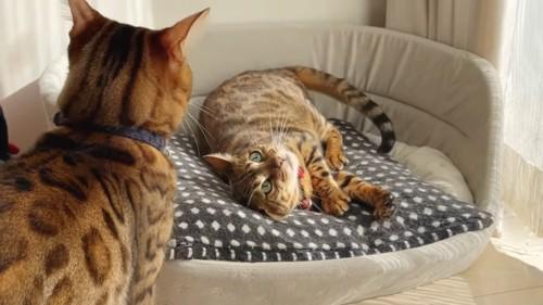 横になっている猫と青い首輪の猫の後ろ姿