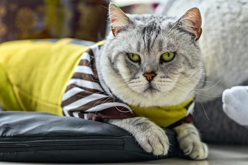服を着て不満げな猫