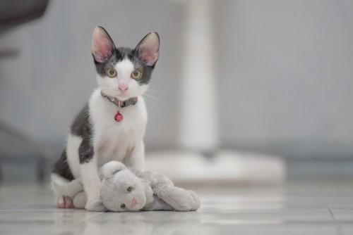 首輪をした子猫
