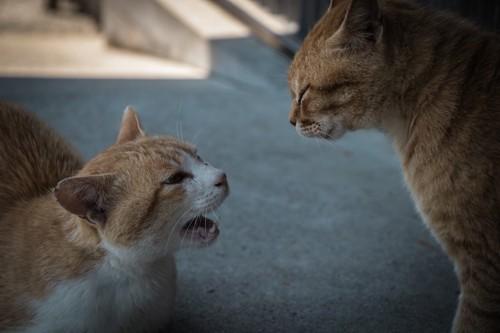 威嚇して向き合う2匹の猫