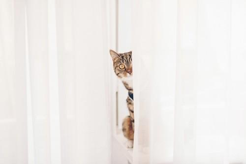 カーテンの間からこちらを見つめる猫