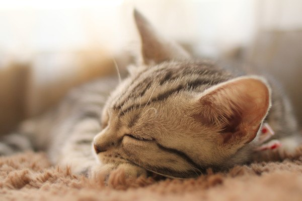 ブラウンタビー子猫が寝る