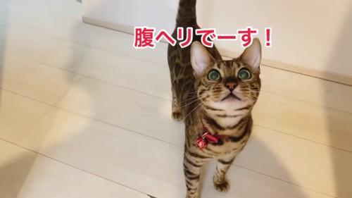 「腹ヘリ」と見上げる猫