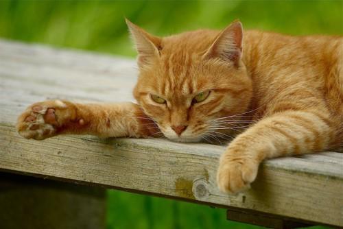 不機嫌そうな顔で伏せている猫