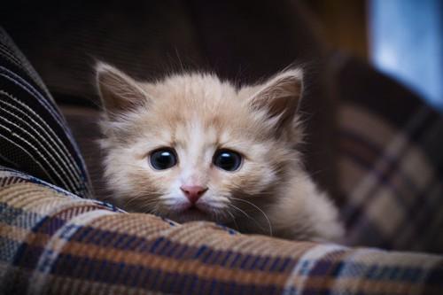 不安そうな顔でこちらを見つめる子猫
