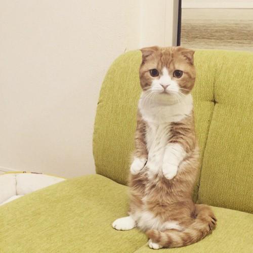 ソファの上で2本足で立つ猫