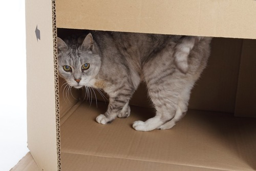 警戒してダンボール箱の中に隠れる猫