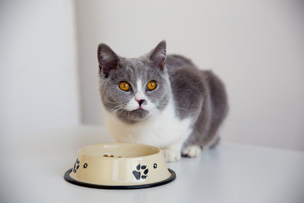 ご飯の前で伏せる猫