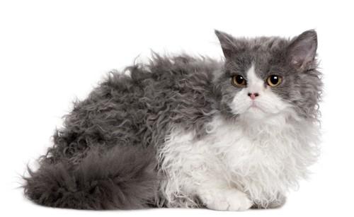 巻き毛の猫