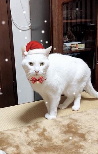 サンタ白猫