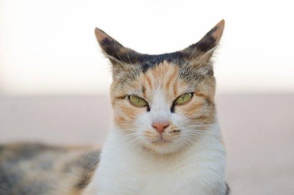 耳を薄ろにする三毛猫
