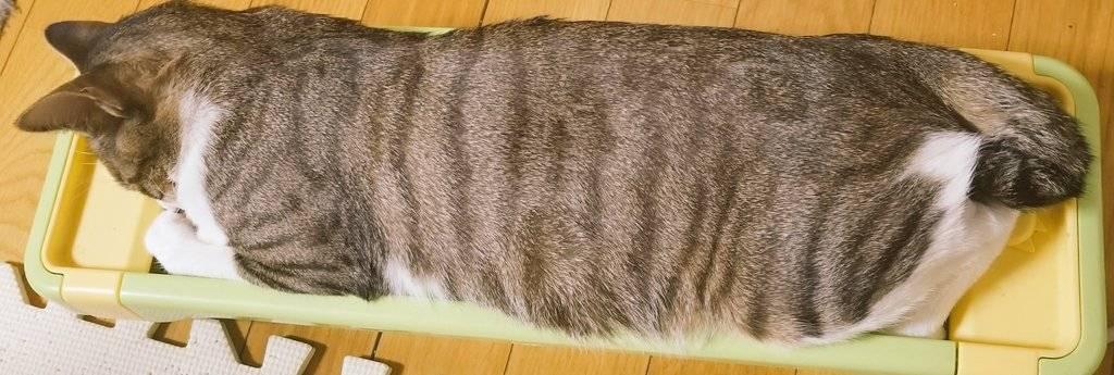爪とぎで背筋を伸ばして寝るキジシロ母猫