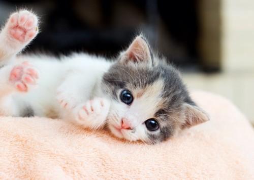 毛布の上で寝転ぶ子猫