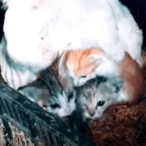 ニワトリの下から顔を出す3匹の子猫