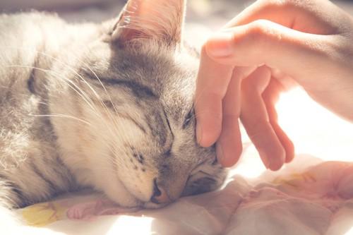 目を閉じる猫と世話をして撫でる人の手