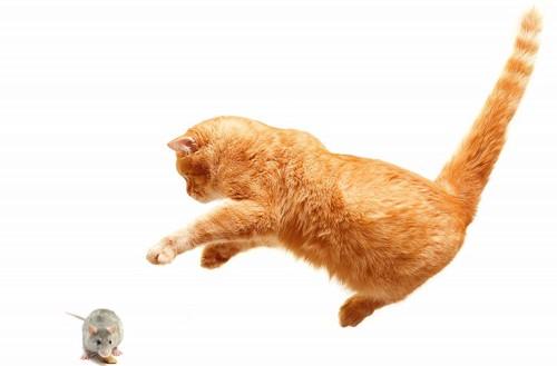 ネズミに飛びかかっている猫