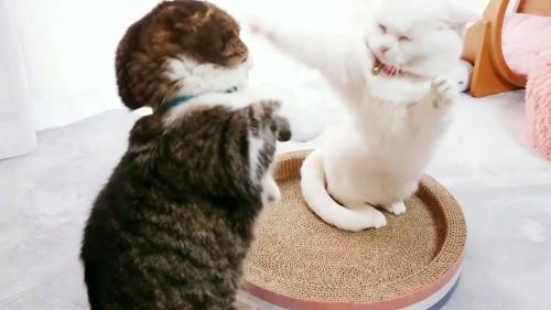叩き合う猫