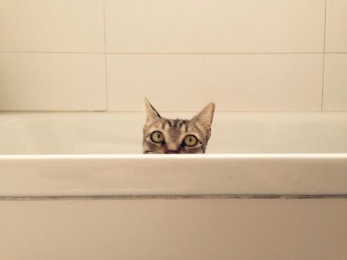 浴槽の中にいる猫