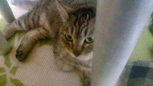 机の下に隠れる猫
