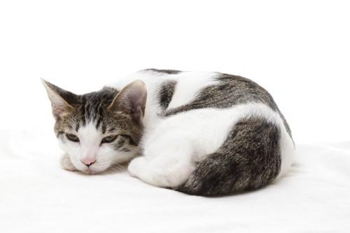丸くなるサバトラ白の子猫