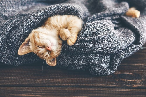 旅館の布団の中で眠る子猫