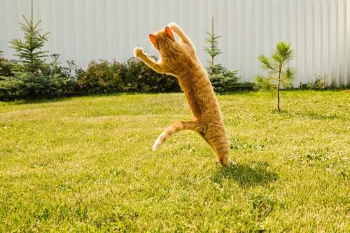 芝生の上で大ジャンプする猫