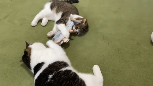 寝転がっておもちゃで遊ぶ2匹の猫