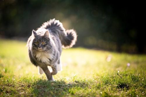 走る長毛猫