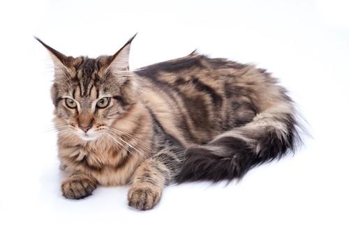 横になって緊張している長毛の猫