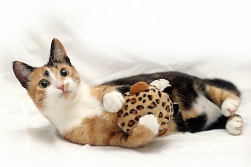 おもちゃを抱いて遊ぶしつこい三毛猫