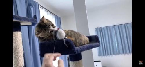 おもちゃをかじる猫