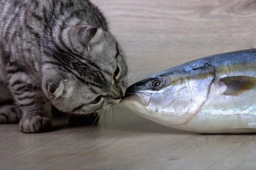 マグロの匂いを嗅いでいる猫