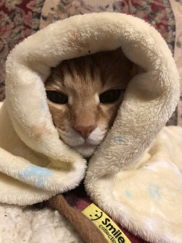毛布でぬくぬくする猫