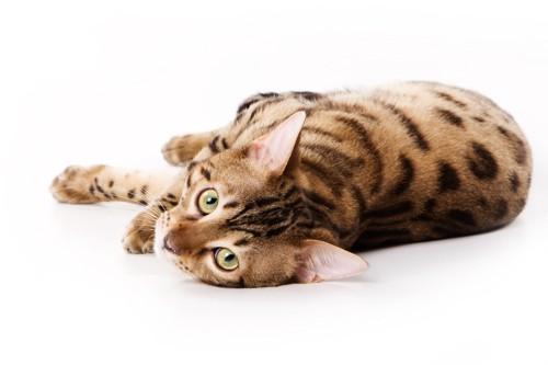 横たわるベンガル猫