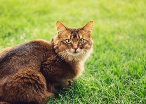 芝生の上からこちらを見つめる猫