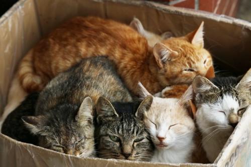 ダンボールに入る子猫たち