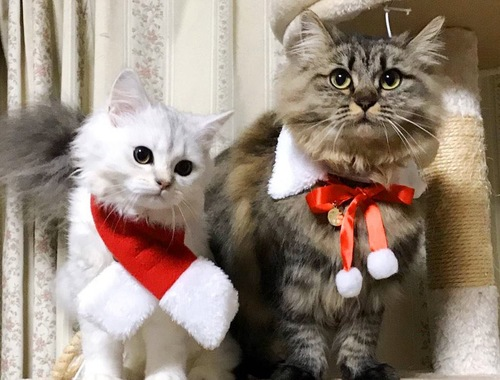 クリスマスマフラーの猫2匹